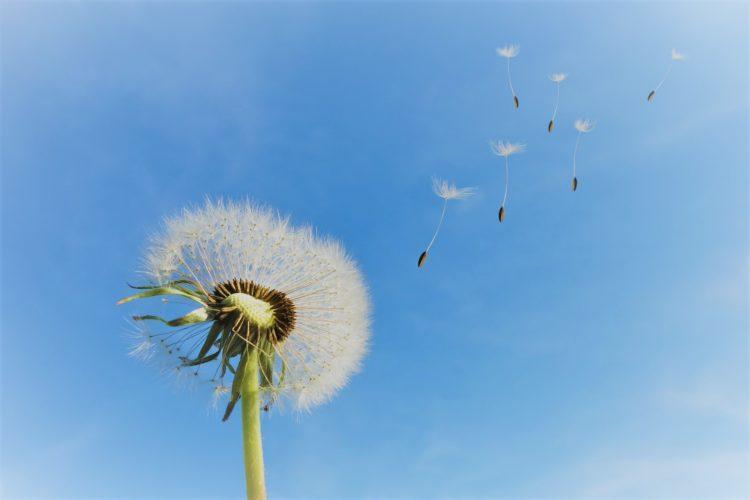 voikukan haituvia sinisellä taivaalla