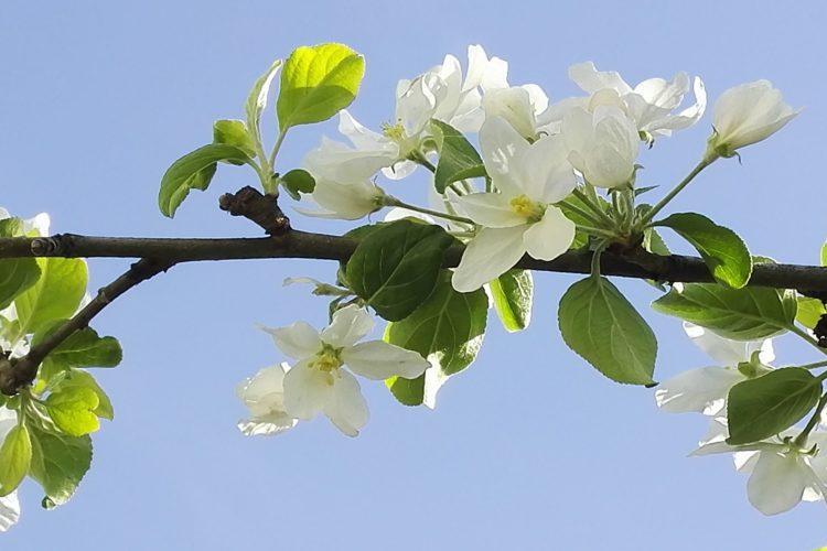 omenapuun oksa kukassa