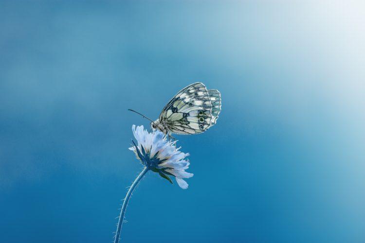 perhonen kukassa.