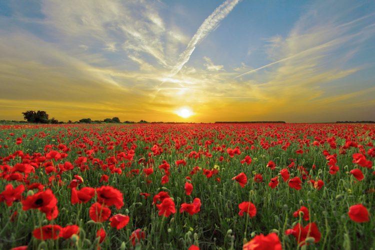 kukkapelto ja auringonlasku.