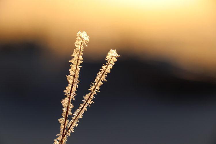 Jäätyneet heinänkorret auringonlaskussa.
