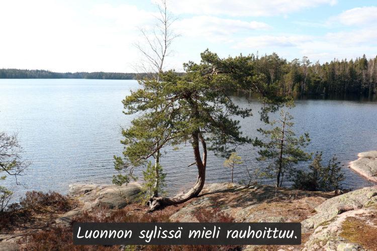 Järven rannalla kasvaa vinoon kasvanut mänty.
