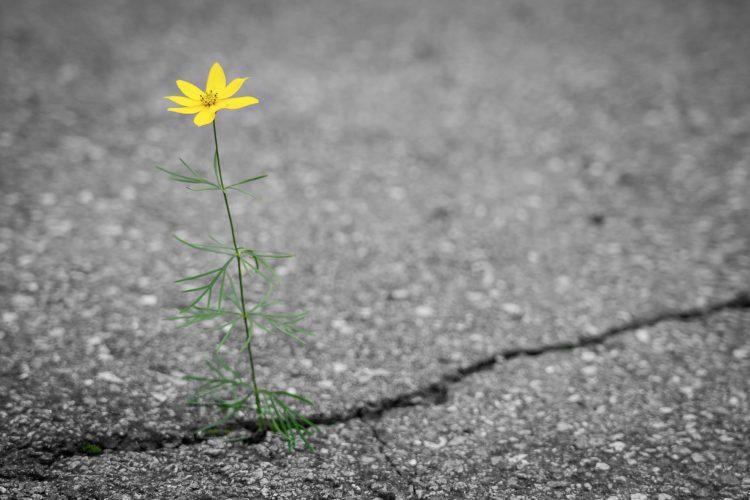 Keltainen kukka kasvaa asfaltin raosta.