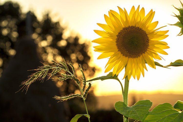 Auringonkukka ilta-auringossa.
