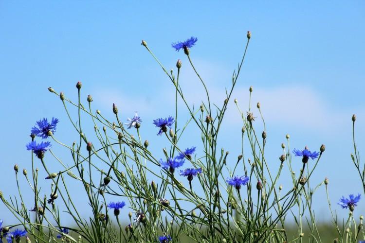 Ruiskaunokkeja niityllä. Taustana sininen taivas ja kukat kurkottelevat kohti taivasta.